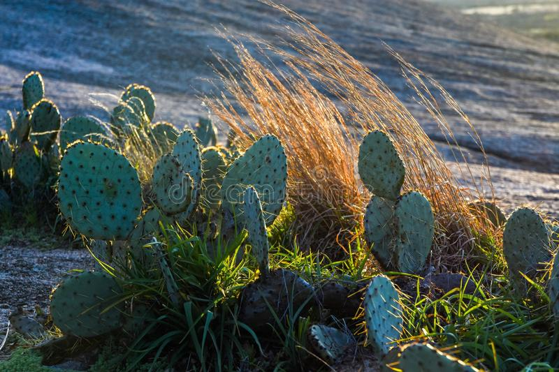 Enchanted Rock Cactus stock images