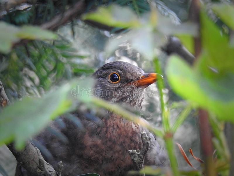 camouflaged baby bird hiding in her nest royalty free stock photography