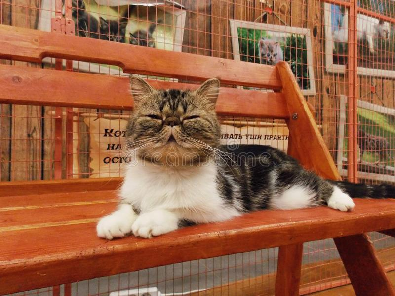Exotic shorthair cat royalty free stock photography