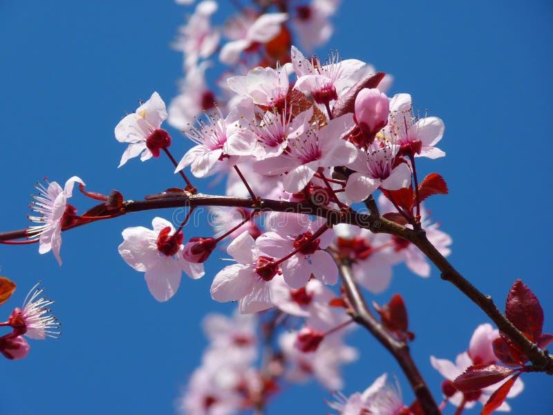 Photo Of Cherry Blossom Free Public Domain Cc0 Image