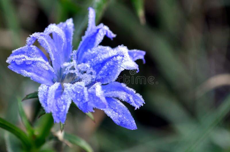Photo of chicory flower in Izmail, Ukraine. Photo of chicory flower with a hoar frost in Izmail, Ukraine stock photos