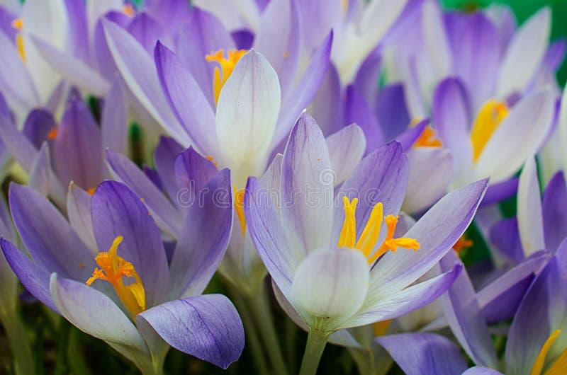 Photo close small spring flowers crocuses stock photos