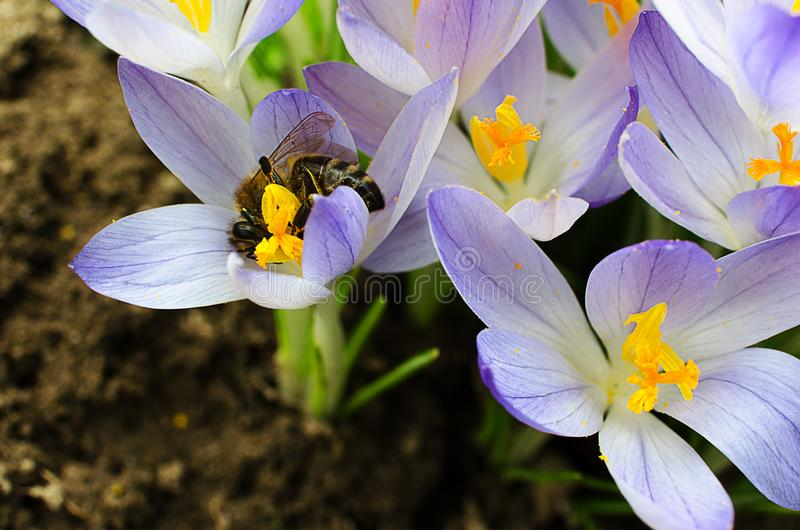 Photo close small spring flowers crocuses stock images