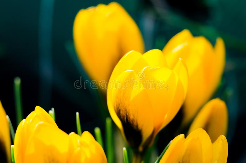 Photo close small spring flowers crocuses stock photo