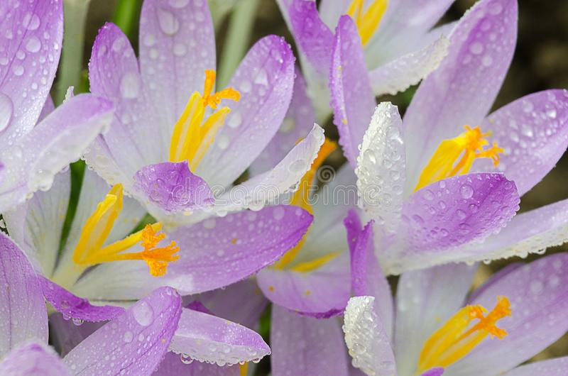 Photo close small spring flowers crocuses royalty free stock images