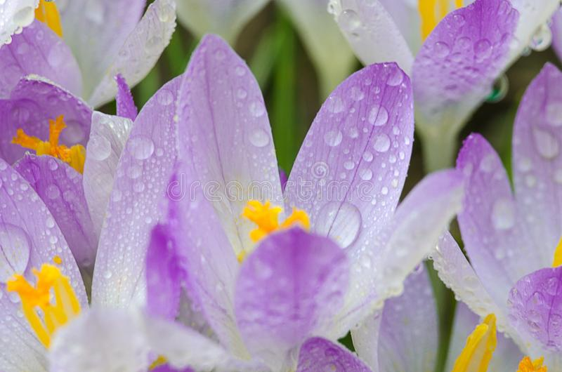 Photo close small spring flowers crocuses royalty free stock image