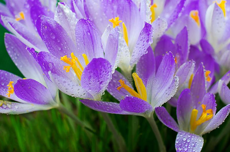 Photo close small spring flowers crocuses stock photography