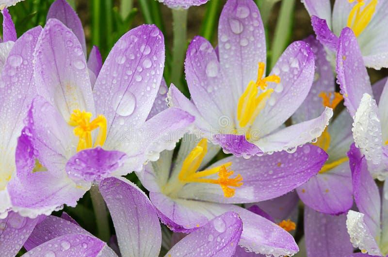 Photo close small spring flowers crocuses stock image