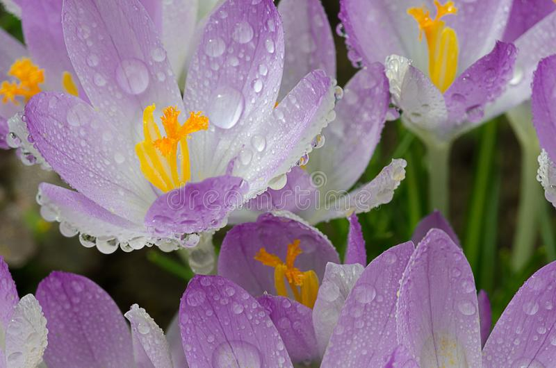 Photo close small spring flowers crocuses royalty free stock photography