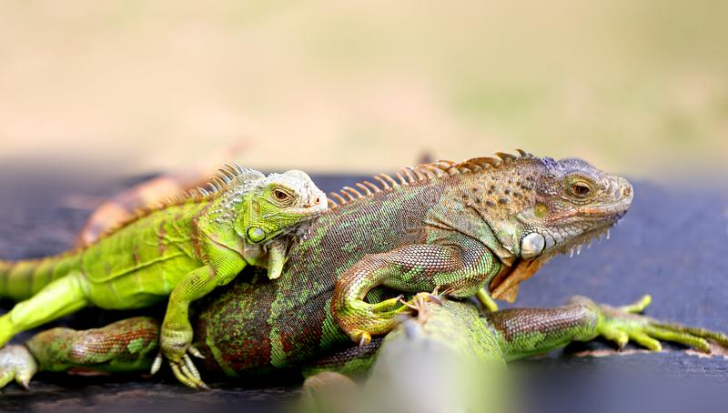 Photo of a close-up funny iguana royalty free stock images