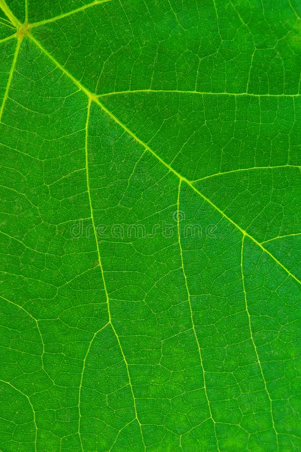 Photo of close up green vine leaf texture stock image