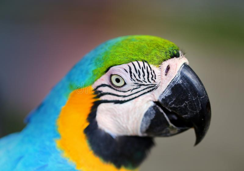 Photo of a close-up of a large blue macaw stock photo