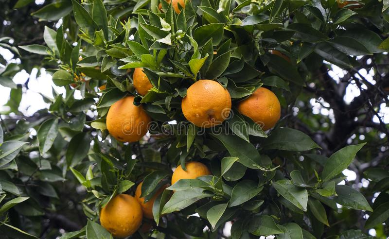 Orange fruits with drops of rain weigh on a branch. royalty free stock photo