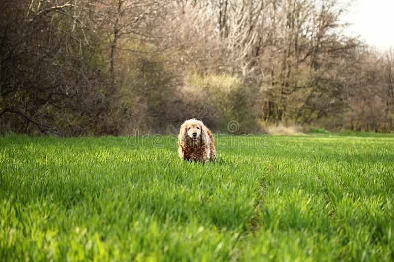 Photo of Cocker Spaniel Dog on Grass Field royalty free stock photography