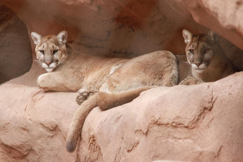Cougars in the Phoenix Zoo royalty free stock photo
