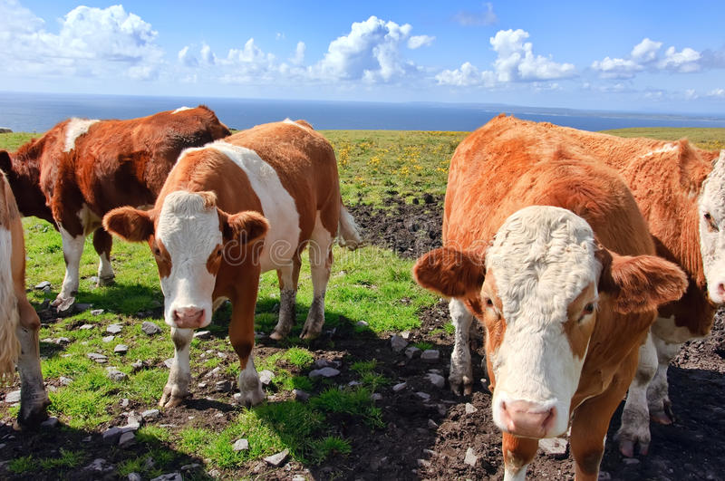 Photo of cows/bulls over looking the ocean stock image