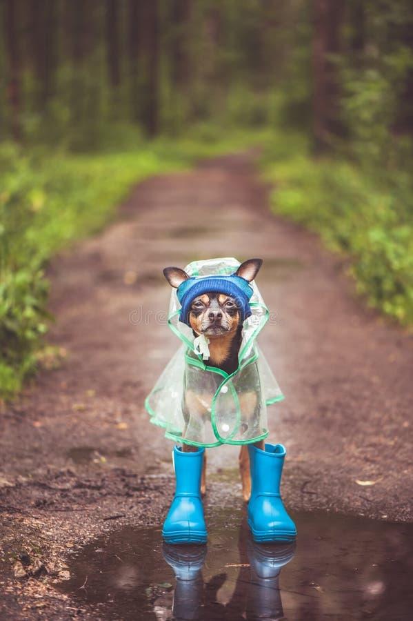 Photo créative d'un chien dans un imperméable et des bottes en caoutchouc Temps pluvieux photo stock