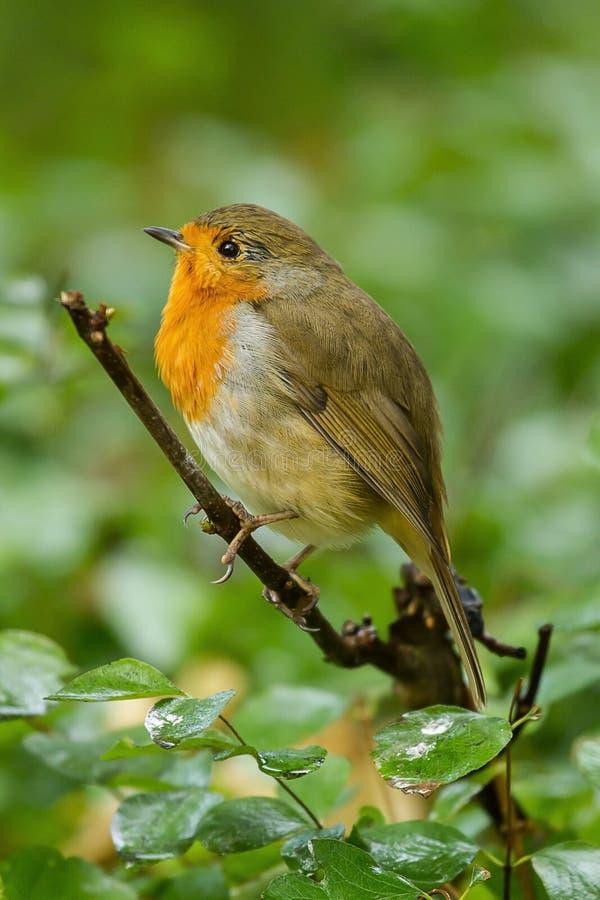 A cute little Robin redbreast. Photo of a cute little Robin redbreast sitting on a branch stock photography