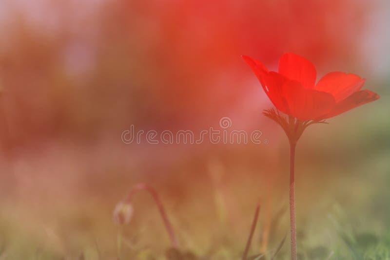 photo d'angle faible de pavot rouge dans le domaine vert images stock