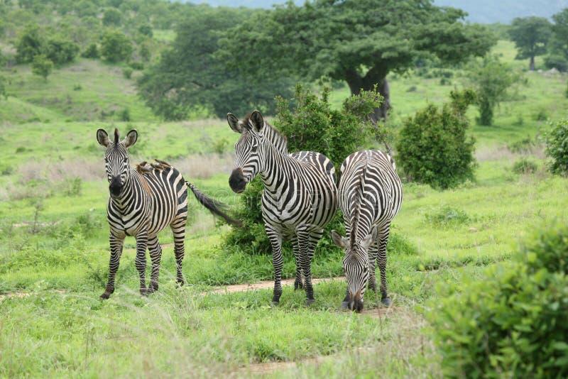 Photo d'animal sauvage de la savane du Botswana Afrique de zèbre photos stock