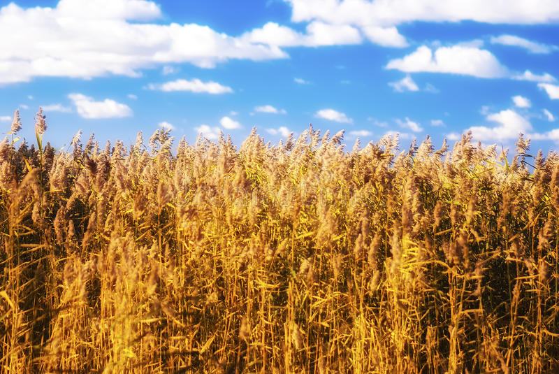Photo d'automne d'un champ de l'herbe (céréales, carex, etc.) photographie stock
