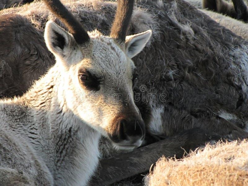 Photo d'un cerf commun dans la toundra photographie stock