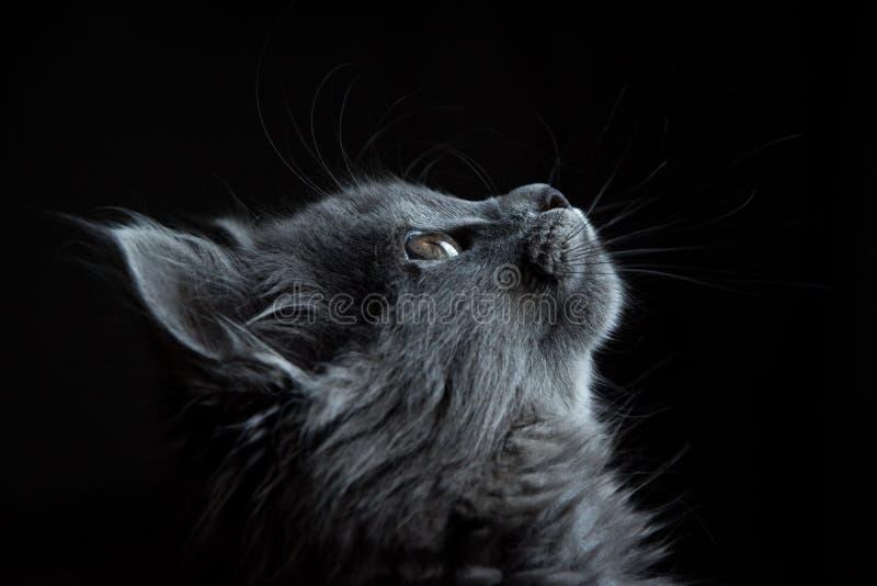 Photo d'un chat gris regardant vers l'arrière-plan noir photo libre de droits