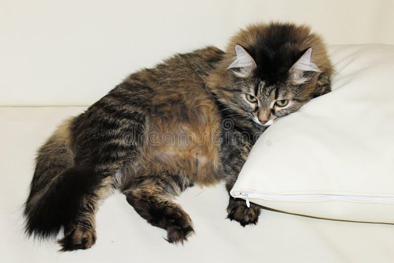Photo d'un chat sur un oreiller blanc photo stock
