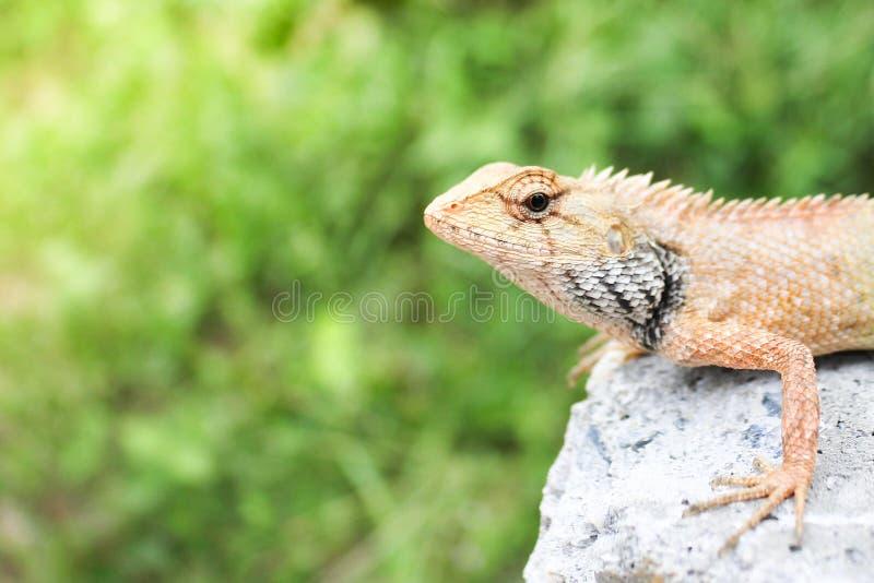 Photo d'un jeune lézard sur une roche photographie stock libre de droits