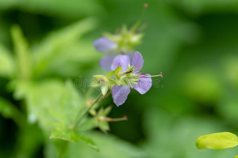 Photo d'une fleur lilas sur un fond d'herbe image stock