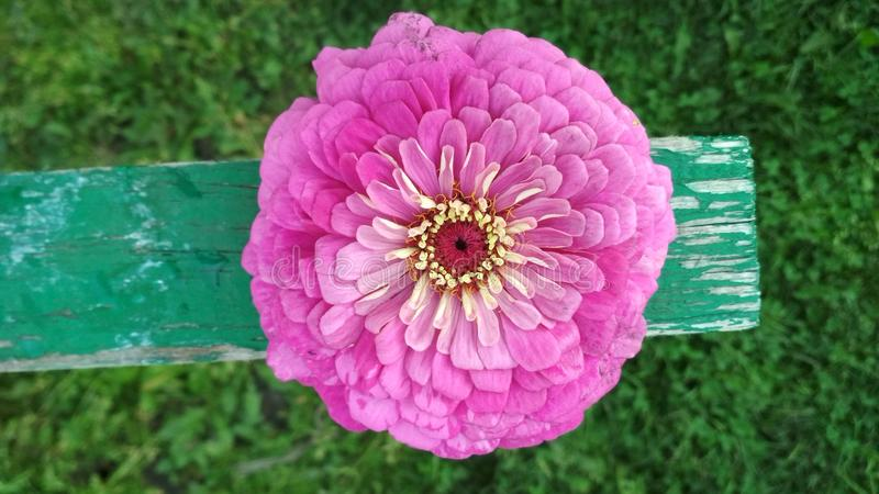 Photo d'une fleur rose de Zinnia de Terry image libre de droits