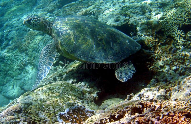 Photo d'une tortue de mer verte photos libres de droits