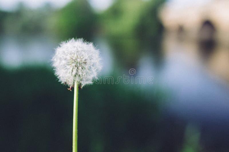 Photo Of Dandelion At Daytime Free Public Domain Cc0 Image