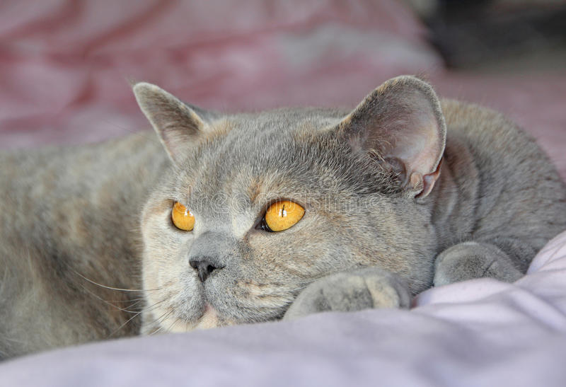 Download Bed rest pedigree cat stock image. Image of peaceful - 30264349