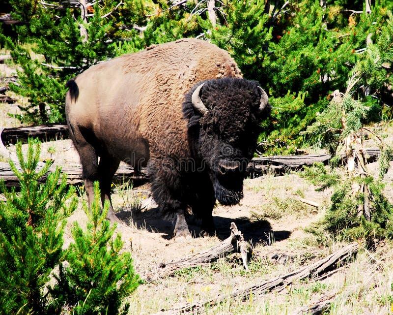 Photo de Buffalo sauvage dans la forêt verte images libres de droits