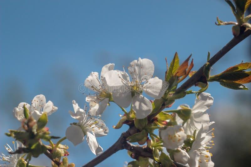 Photo de cerisier de floraison photographie stock