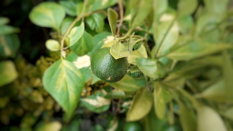 Photo de citron photos libres de droits