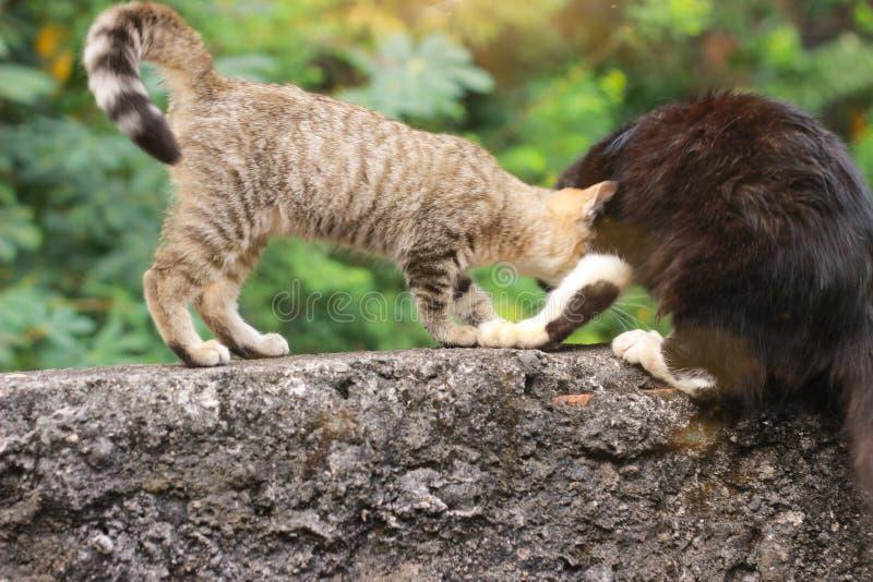 Photo de Close Up Cute Small Wild Brown Cat jouant avec un ami noir poilu, avec le soleil du matin et la flamme photos stock