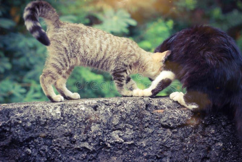 Photo de Close Up Cute Small Wild Brown Cat jouant avec un ami noir poilu, avec le soleil du matin et la flamme photos libres de droits