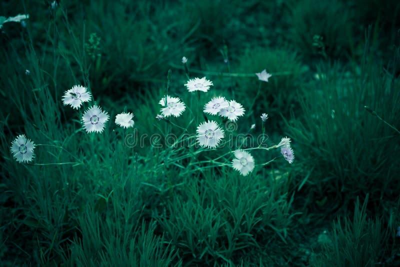Photo de contexte de fond de fleur sauvage de Cav de bipinnata de cosmos photos libres de droits