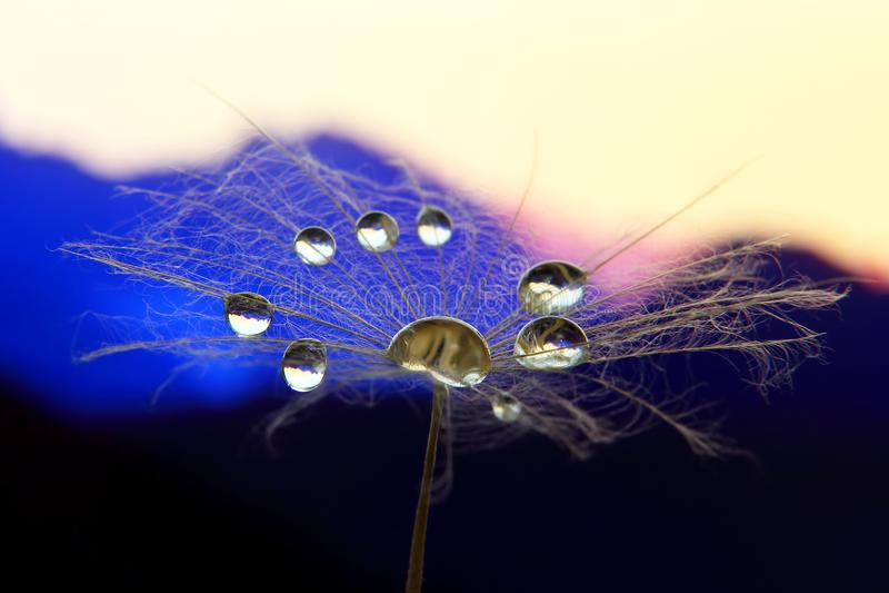 Photo de fleur de pissenlit macro avec des baisses de l'eau contre le contexte de l'aube dans le terrain montagneux photo stock