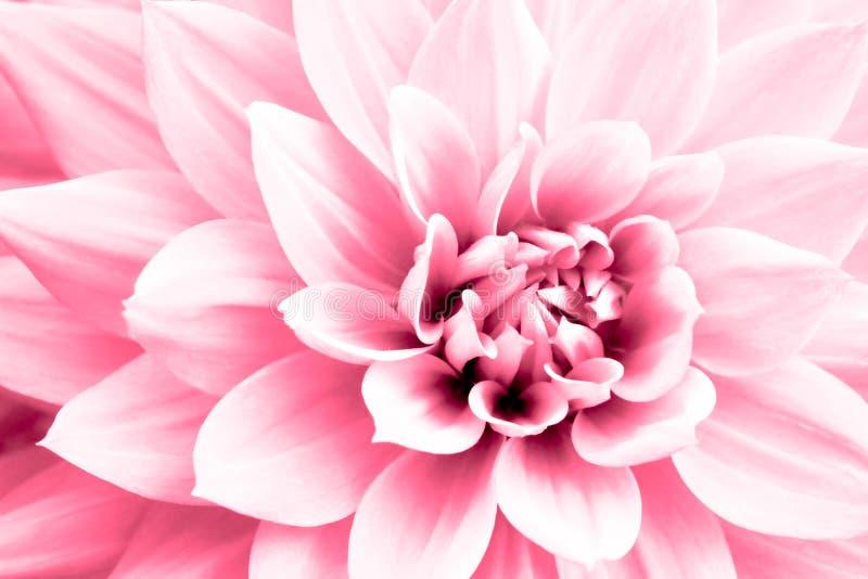 Photo de fleur rose-clair de dahlia macro Image principale élevée en couleurs soulignant le rose et les points culminants lumineu images libres de droits