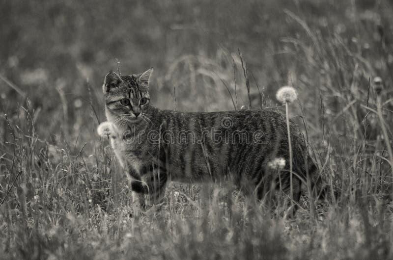 Photo de gamme de gris de chat poilu court de taille moyenne sur l'herbe et les fleurs photographie stock libre de droits