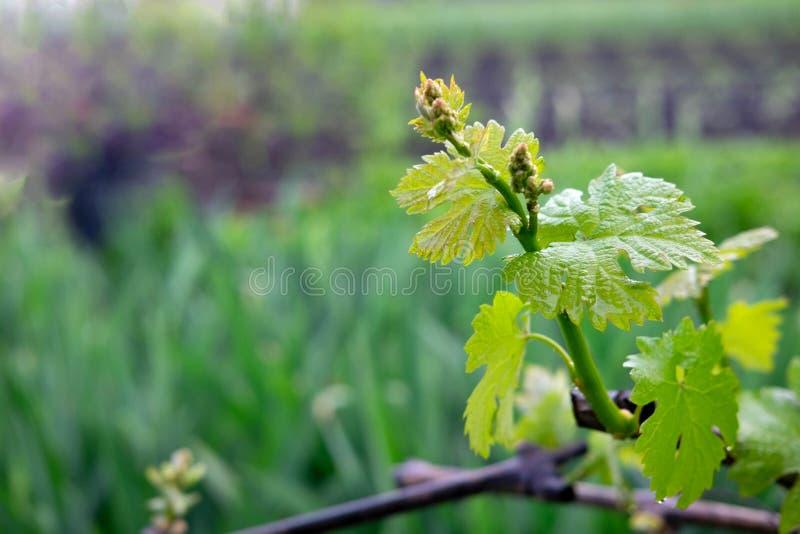 Photo de jeunes raisins dans le jardin Feuilles et branches des raisins au début de l'été ?levage de raisin images stock