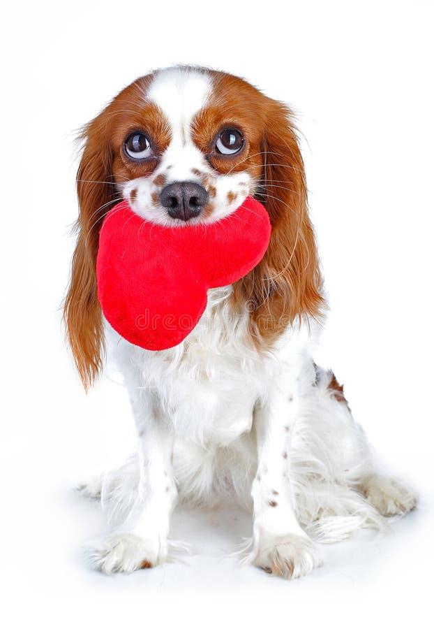 Photo de jour de valentines Le chien avec entendent Chiot avec le coeur de sof de peluche Épagneul de jour du ` s de Valentine Am photos libres de droits