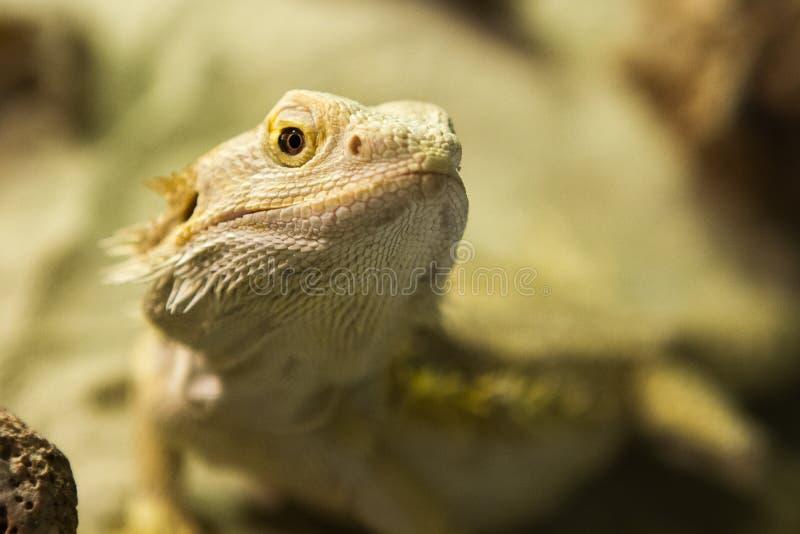 Photo de lézard dans l'imitation de l'habitat naturel image libre de droits