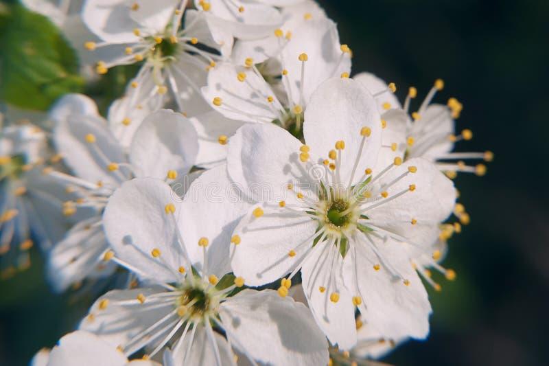 photo de l 39 arbre fleurissant de crabapple avec les fleurs blanches et de jaune sur un bokeh vert. Black Bedroom Furniture Sets. Home Design Ideas