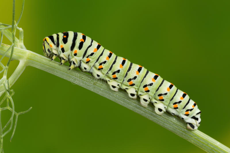 Photo de macro de Caterpillar de machaon (Papilio Machaon) images stock
