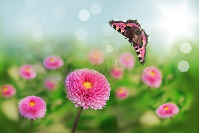 Photo de macro de marguerite Beau fond abstrait avec la fleur et le papillon photographie stock libre de droits