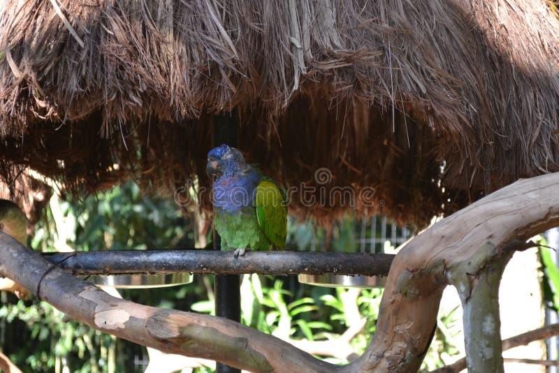 Photo de perroquet sauvée de l'abus photos stock